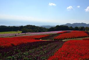 兵庫県立/あわじ花さじき/サルビアの花とコスモスの花の写真素材 [FYI04889204]
