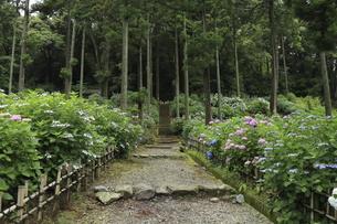 紫陽花寺の参道に咲き誇るアジサイの花の写真素材 [FYI04889217]