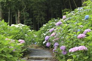 梅雨の季節にアジサイの花が満開の紫陽花寺の風景の写真素材 [FYI04889218]