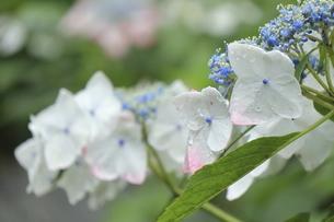 雨露に濡れた可憐なアジサイの花の写真素材 [FYI04889225]