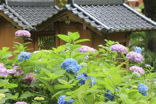 神社のお社の瓦屋根と満開のアジサイの花の写真素材 [FYI04889226]