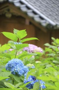 葉を傘にしたような青いアジサイの花と瓦屋根の写真素材 [FYI04889227]