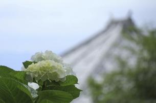 お寺の屋根を背景にした美しい白いアジサイの写真素材 [FYI04889239]