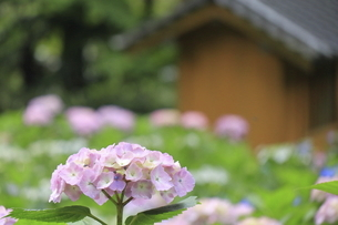 日本家屋に映えるピンク色の可憐なアジサイの写真素材 [FYI04889255]
