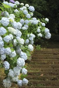 アジサイの花が咲き誇る紫陽花寺の石段の景色の写真素材 [FYI04889269]