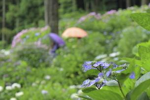 雨に濡れた美しいアジサイの花と観光客の傘の写真素材 [FYI04889284]