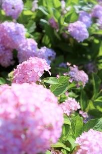 スウィート ピンクの紫陽花の写真素材 [FYI04889864]