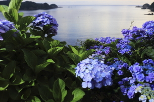 島根県島根半島早朝の紫陽花ロードの写真素材 [FYI04890050]