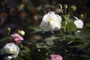 朝のうちは真っ白な酔芙蓉の花の写真素材 [FYI04890153]