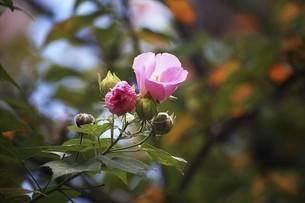 深まる秋まで咲くフヨウの花の写真素材 [FYI04890154]