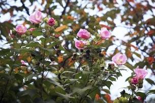 深まる秋まで咲くフヨウの花の写真素材 [FYI04890155]