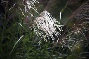山野草・ススキの花の写真素材 [FYI04890191]