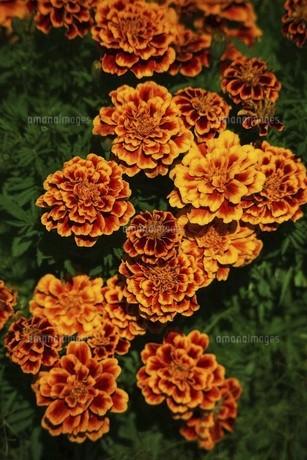 マリーゴールド・オレンジ色の花の写真素材 [FYI04890208]