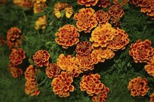 マリーゴールド・オレンジ色の花の写真素材 [FYI04890209]