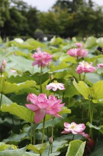 平池緑地公園の蓮の写真素材 [FYI04890408]