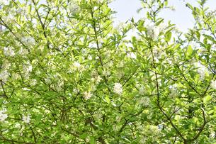 イボタノキ(モクセイ科イボタノキ属)の白い花と葉と枝の写真素材 [FYI04890447]
