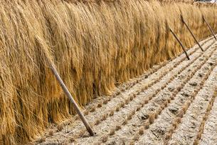 稲の架干の写真素材 [FYI04890618]