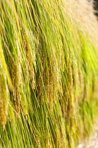 稲の架干の写真素材 [FYI04890620]