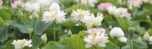バナーサイズに切り抜いた満開のハスの花画像 の写真素材 [FYI04890667]