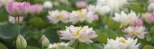 バナーサイズに切り抜いた満開のハスの花画像 の写真素材 [FYI04890668]