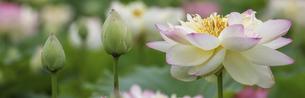 バナーサイズに切り抜いた満開のハスの花画像 の写真素材 [FYI04890669]