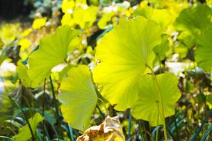 枯れ始めるハスの葉の写真素材 [FYI04890785]