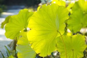 枯れ始めるハスの葉の写真素材 [FYI04890786]