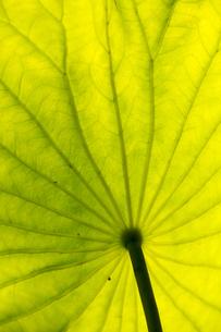ハスの葉の写真素材 [FYI04890787]