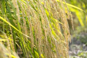収穫間近の稲穂の写真素材 [FYI04890796]