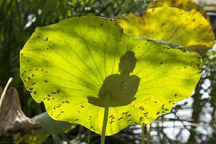 蓮の葉に映る御仏の姿の写真素材 [FYI04890808]