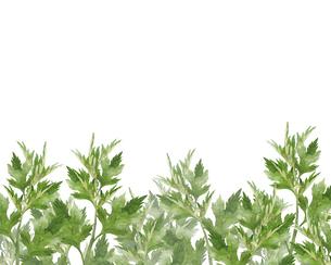 ヨモギの水彩画のイラスト素材 [FYI04890921]