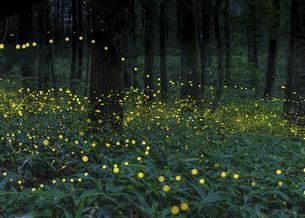森に舞うヒメボタルの写真素材 [FYI04890946]