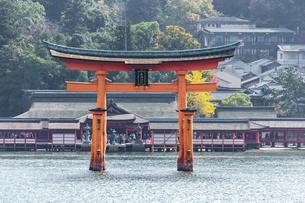 秋の宮島、厳島神社 大鳥居の写真素材 [FYI04890953]