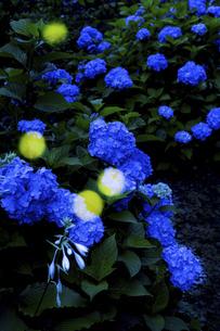 紫陽花に舞うヒメボタルの写真素材 [FYI04890957]