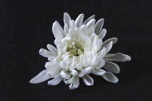 黒背景の白菊の花首の写真素材 [FYI04891396]