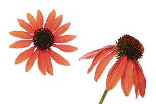 白背景のエキネシアの花首の写真素材 [FYI04891397]