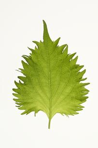 シソの葉の写真素材 [FYI04891552]