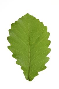カシワの葉の写真素材 [FYI04891571]