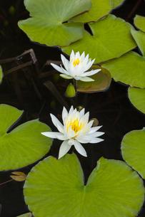 志賀高原 蓮池のスイレンの写真素材 [FYI04891575]