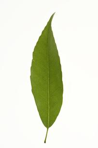 シラカシの葉の写真素材 [FYI04891608]