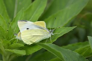 葉の上で交尾している2羽のモンシロチョウ(チョウ目アゲハチョウ上科)の写真素材 [FYI04891950]