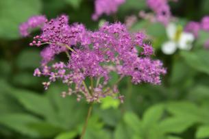 アカバナシモツケソウ(バラ科シモツケソウ属の多年草)のピンク色の花と葉の写真素材 [FYI04892029]