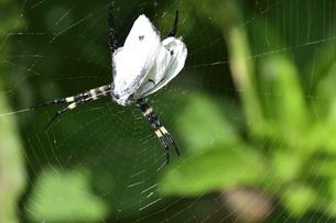 蜘蛛の糸で捕らえられたチョウチョと蜘蛛の足の写真素材 [FYI04892041]