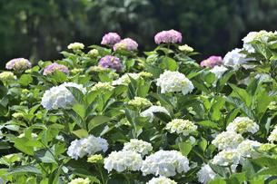ピンク色のアジサイ(アジサイ科アジサイ属)の花と白い萼と僅かに色づき始めたアジサイの花と葉の写真素材 [FYI04892098]