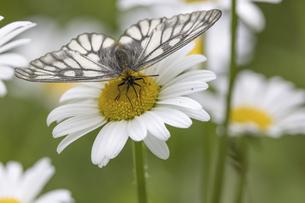 フランス菊の蜜を吸うウスバシロチョウの写真素材 [FYI04892197]