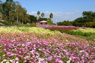 淡路島/国営明石海峡公園/大地の虹から季節の花コスモスの写真素材 [FYI04892223]