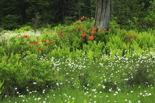 6月 ワタスゲ咲き乱れる駒止湿原の写真素材 [FYI04892889]