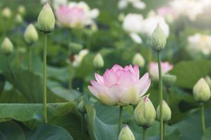 満開のハスの花の写真素材 [FYI04892928]