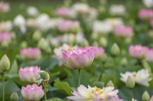 満開のハスの花の写真素材 [FYI04892929]
