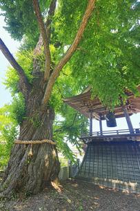 新緑の愛染カツラと北向観音の鐘楼の写真素材 [FYI04893039]